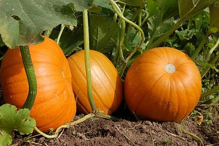 three orange squash vegetables