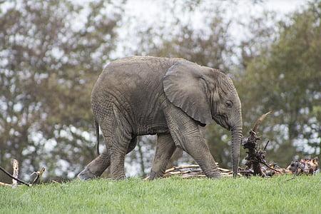 elephant walking on grass field