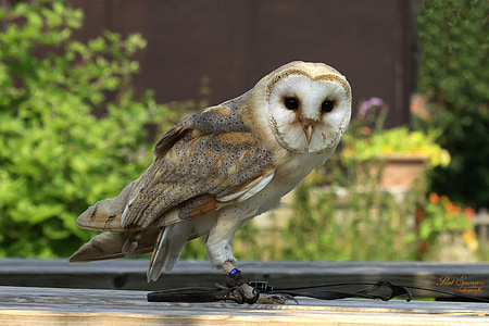 barn owl on brown wooden surface