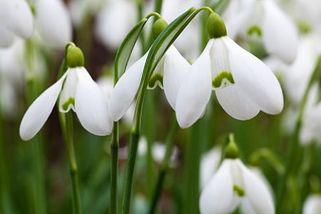 white snow drop flowers