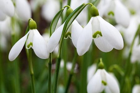 white snow drop flowers