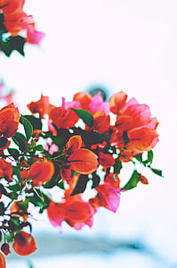red and orange bougainvillea flower