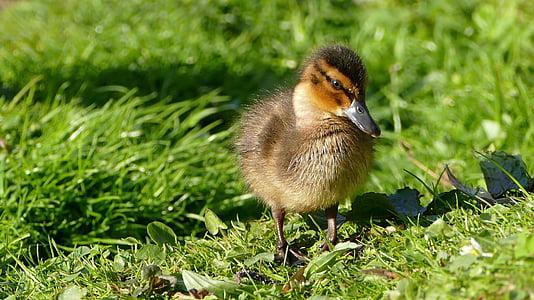 duckling standing on green grass