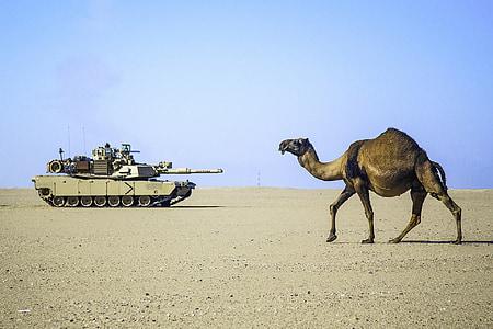 camel on dessert in distant of battle tank