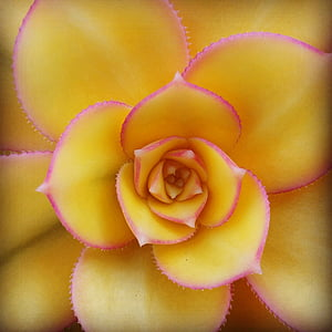 yellow and pink succulent plant