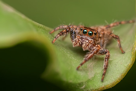 brown Phidippus audax jumping spider on green leaf