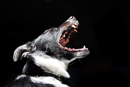 close photography of short-coated black and white dog