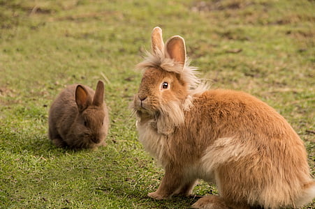 two brown rabbits sitting on green grass