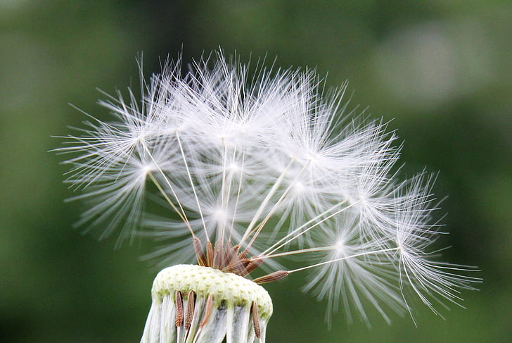 white dandelion flower in close-up photography