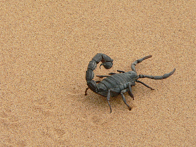 black scorpion on brown sand