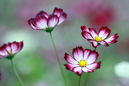 white-and-red cosmos flowers in selective focus photography