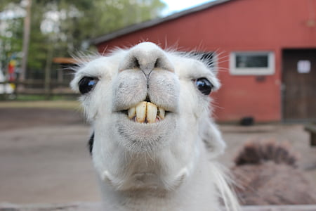 selective focus photography of white llama
