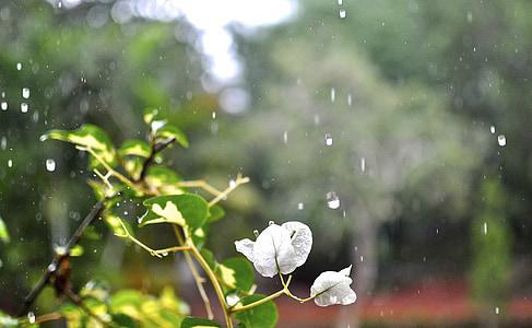 timelapse photo of white bougainvillea