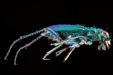 green tiger beetle macro photography