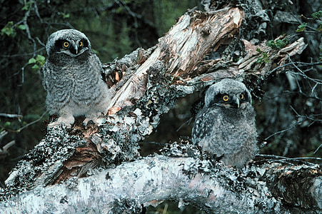 two gray-and-black owls photo during winter