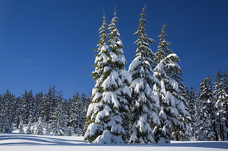 trees coated of snow