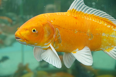 closeup photo of orange and white pet fish