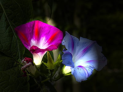 pink and purple hibiscus