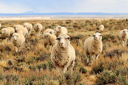 herd of sheep grazing on field