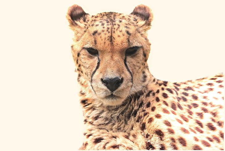 wildlife photography of cheetah