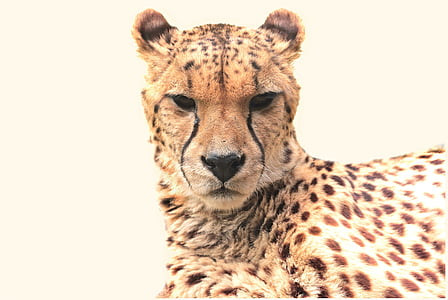 wildlife photography of cheetah