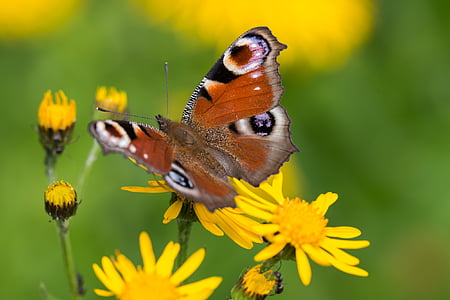 macro photography of peacock butterfly on yellow flower