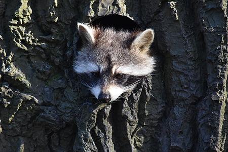 raccoon hiding in trree