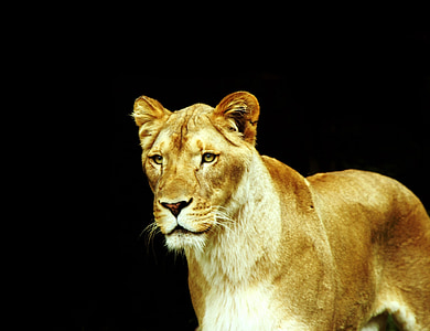 black background with lioness illustration