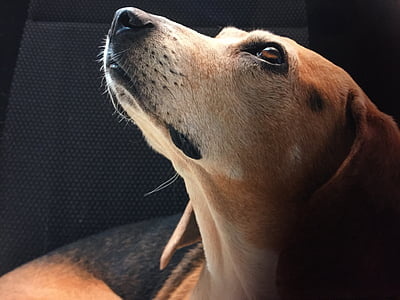 closeup photo of black, brown, and white beagle