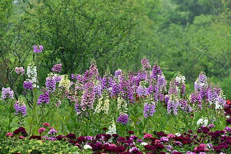field of purple cock's-comb flowers