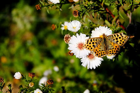 high brown butterfly on white cluster flowers
