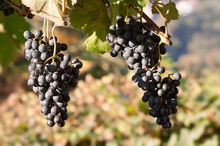 photography of grapes during daytime