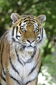 shallow focus photography of Bengal tiger during daytime