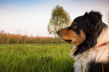 black, white, and tan Greater Swiss Mountain dog by tall grasses at daytime