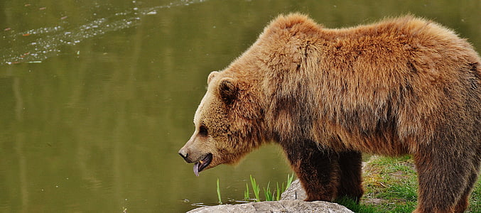 grizzly bear near body of water during daytime