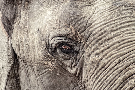 elephant, animal, grey, indian elephant, zoo, ruesseltier