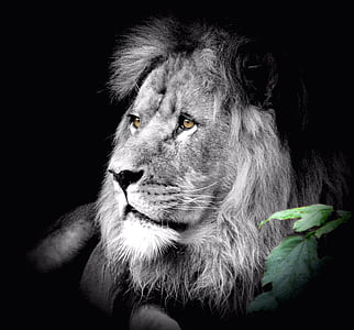 lion grayscale photography