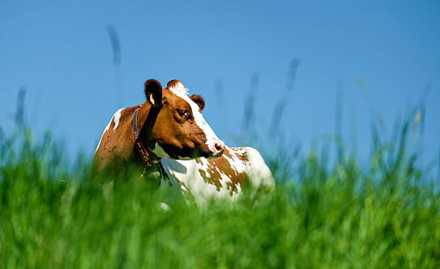 selective focus photo of white and brown cow