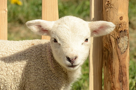 close up photograph of white sheep