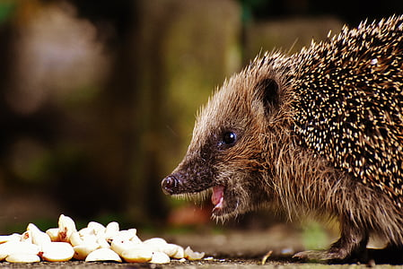brown hedgehog in front of white food