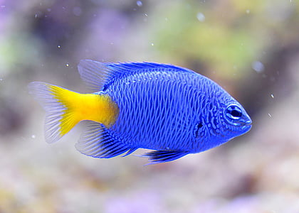 macro shot of blue and yellow fish