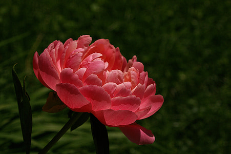 red peony in bloom at daytime