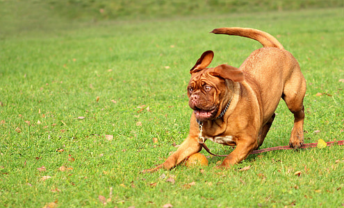 short-coated brown dog playing on green grass during daytime