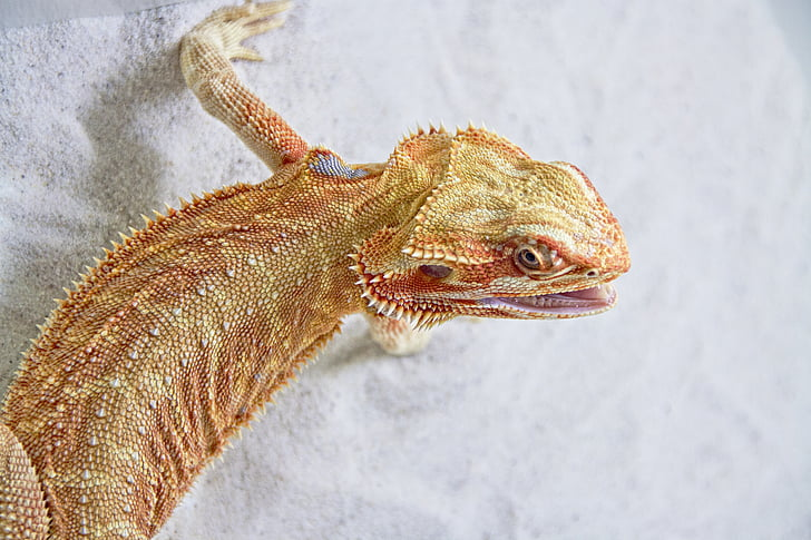 bearded dragon on white sand