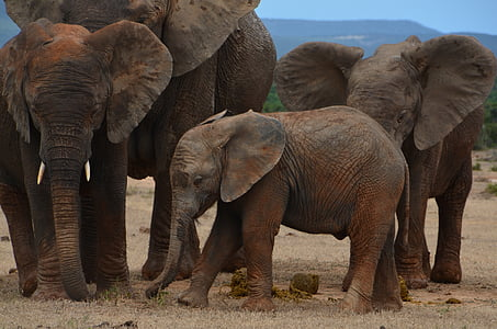 family of 4 elephants