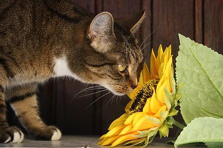 tabby cat smelling sunflower on floor