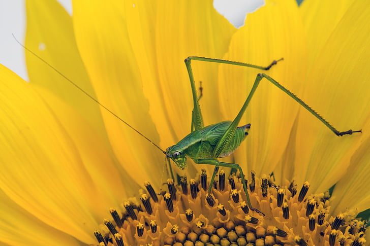 green cricket perching on yellow flower in close-up photography