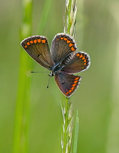 selective focus photography of common blue butterfly perched on wheat
