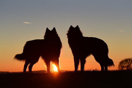 two silhouette of wolves during sunset