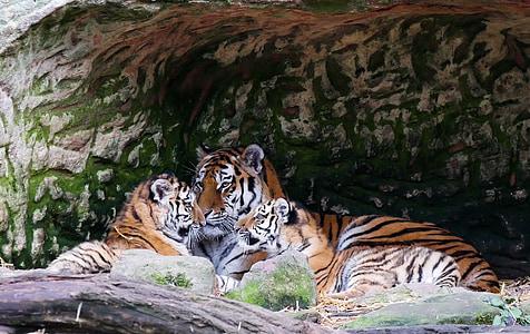 adult Bengal tiger resting beside cubs
